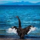 Black Swan at Lake Taupo, New Zealand, 2010