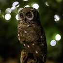 Owl at a windy night, 2013